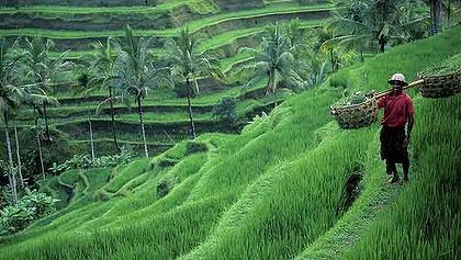 terace Rice Bali