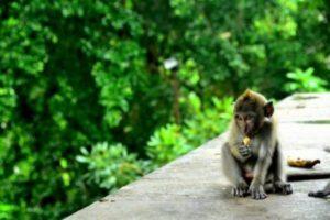 Bali 9 mongkey forest
