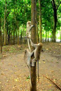 Mongkey forest bali 9