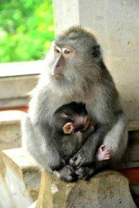 Monyet bengong di Bali
