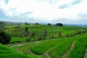 Padi Bali tabanan