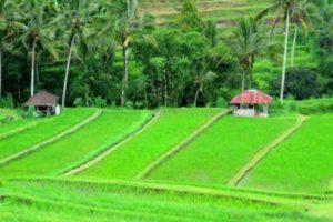 Terace rice Bali tabanan