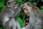 Wisata Mongkey Forest Bali