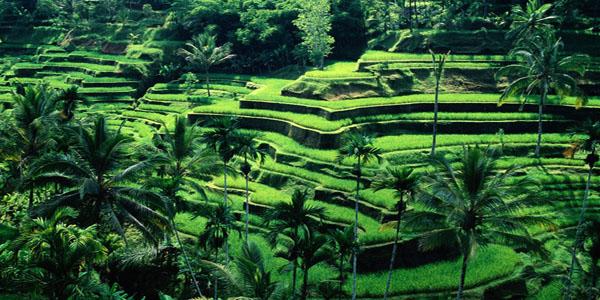 Wisata Bali Ubud Rice Teracce